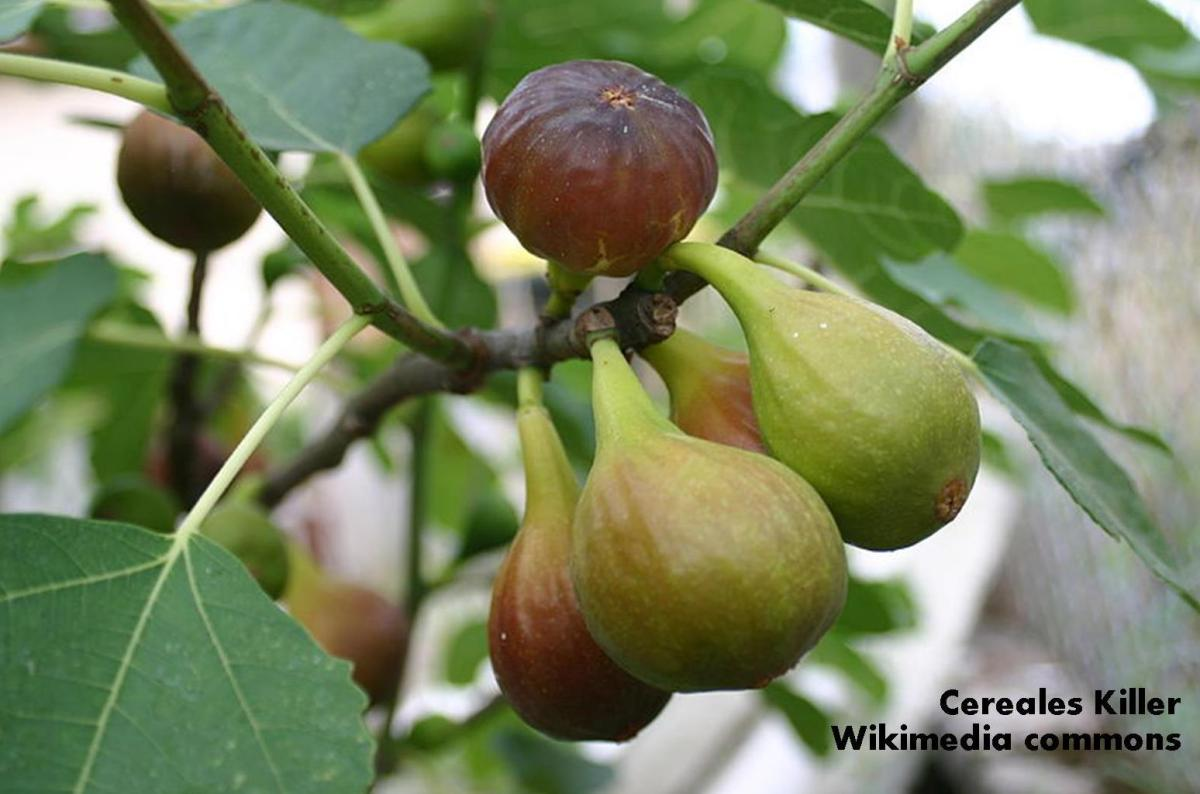 Fig: How to Grow – Fruit of the Month