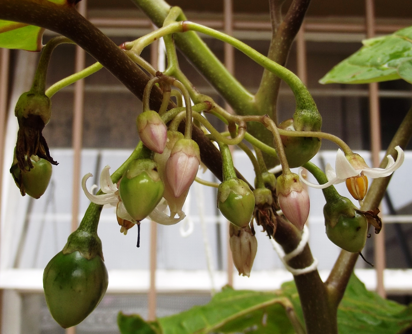 Tamarillo Flowers and fruits various stages Solanum betaceum developing tree tomato