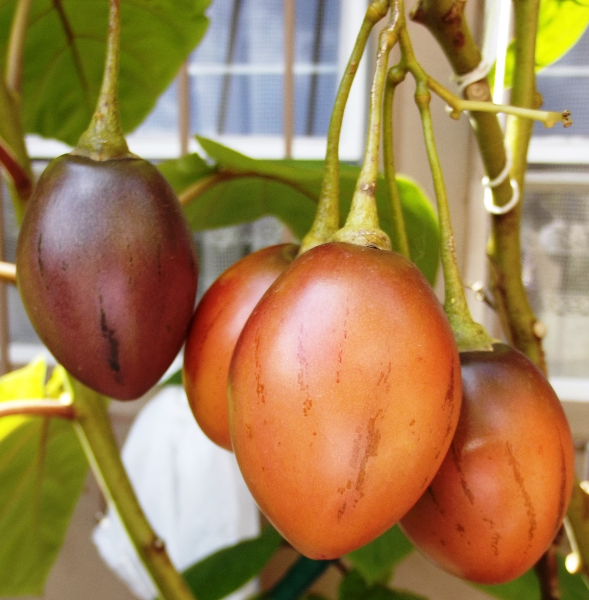 Tamarillo (Tree Tomato) - How to Grow: Fruit of the Month