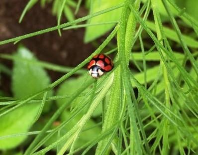 Ladybeetle Ladybug Or Ladybird Biological Control Garden